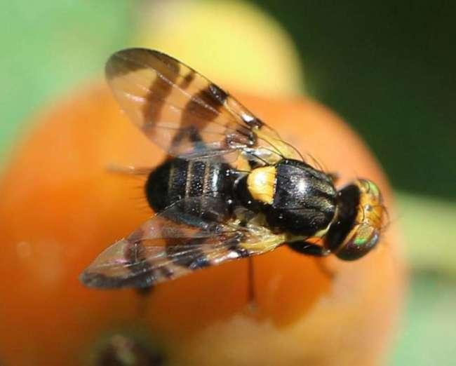 Comment lutter contre les mouches du cerisier avec du sulfate de fer?