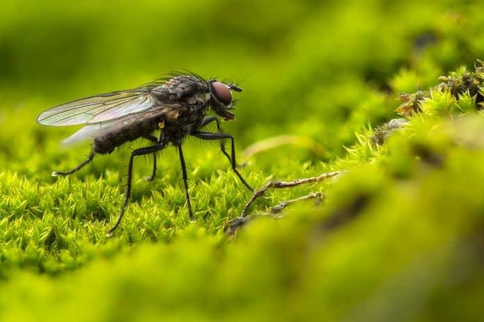 faire fuire les mouches