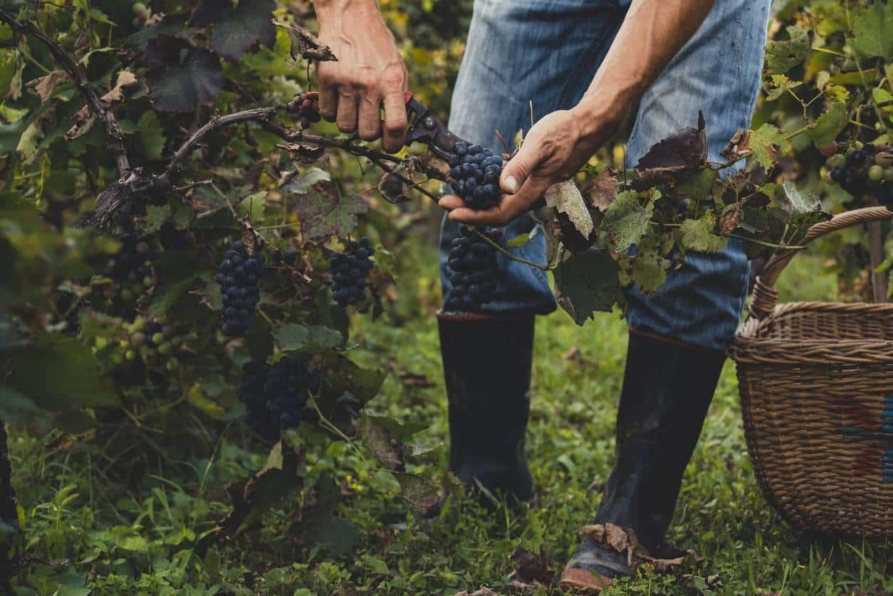 pied de vigne raisin muscat bleu